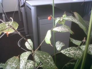 [Bild:Die Büropflanze trägt Früch…]