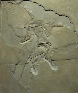 [Bild:Archeopteryx]